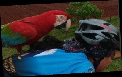 Cheeky macaw swoops down and hitches a ride on cyclist's back