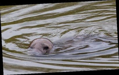 Villagers stunned to find seal swimming in river 20 MILES from coast