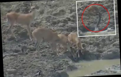 Terrifying moment massive python leaps out of pond to catch an unsuspecting wild deer as it drinks water – The Sun