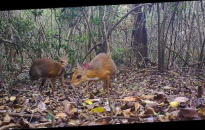 This shy, tiny 'mouse-deer' was lost for almost 30 years. Researchers just captured images of it