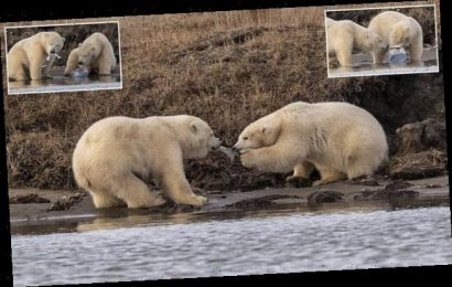 Polar bear cubs fighting over plastic found in a remote part of Alaska