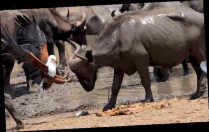 Eagle fends off storks and a giant buffalo after stealing fish
