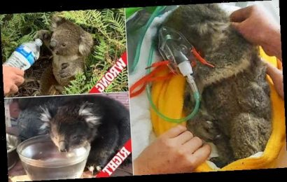 Arnie koala rescued from bushfires and nursed to health but still died