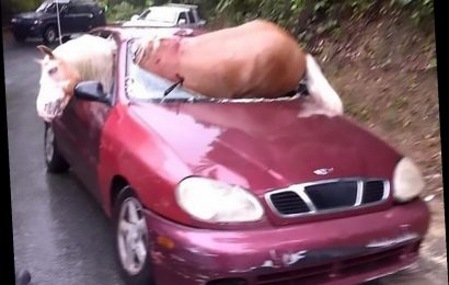 Incredible moment horse tries to escape wrecked car after smashing through windscreen… and everyone survives – The Sun