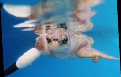 An Endangered Turtle Can Swim Again Thanks to a Prosthetic Flipper