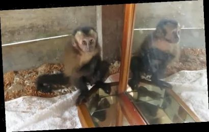 Baby monkey's hilarious reaction the first time it encounters a mirror