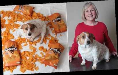 Skylar the Jack Russell weighs 22lbs after scoffing heaps of Doritos