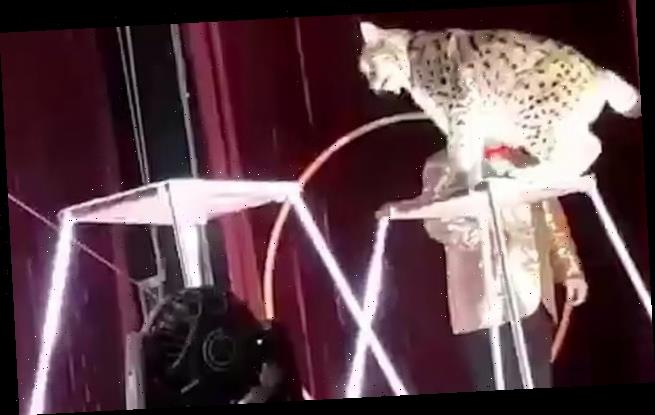 Children scream as wild lynx claws trainer's chest in Russian circus