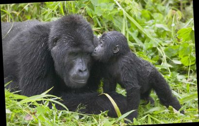 Four extremely rare mountain gorillas are killed after being struck by lightning in Uganda