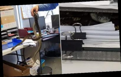 Terrifying moment a massive snake is pulled from a desk in an office