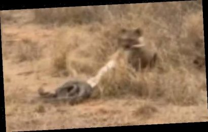 Sneaky hyena creeps up and snatches impala from coils of huge python