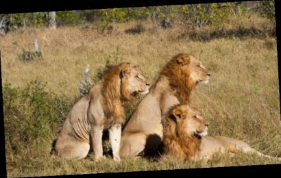 Sick slaughter of innocent lions bred to die in agony MUST END, says LORD ASHCROFT