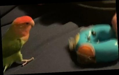 Hilarious moment Peach the lovebird bobs to a tambourine