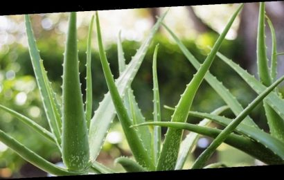 Exactly How To Use Aloe Vera For Softer, Smoother Skin