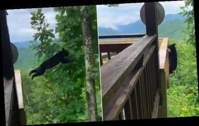 Black bear leaps into a tree from the deck of a Smoky Mountains home