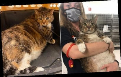 Obese moggy cat that was abandoned finds loving home
