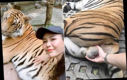 Ballsy tourist slammed for grabbing tiger by testicles for zoo selfie