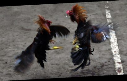 Police officer killed by cockfighting rooster's blade while breaking up match