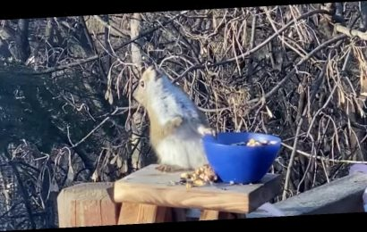 A drunk squirrel spotted swaying back and forth after eating fermented pears has become an internet sensation