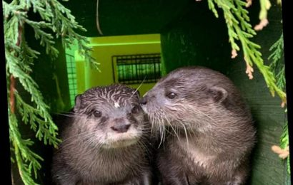 The 2 Lonely Otters Who Fell in Love Online After Losing Their Partners Have Moved in Together