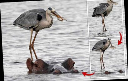 Incredible moment heron hitches ride on hippo which helps it catch its dinner