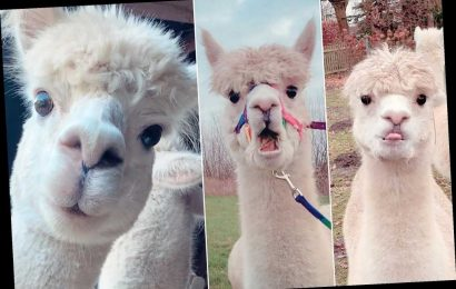 Stubborn alpacas pull hilarious faces when they don't get their way