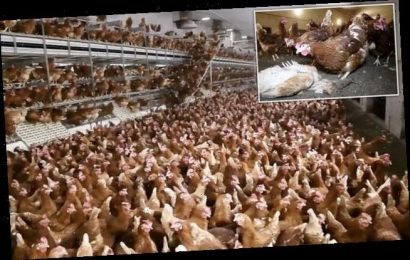Hidden camera shows hens that supply the Happy Egg Company
