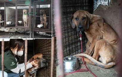 50 caged dogs are rescued from horrifying meat farm in South Korea