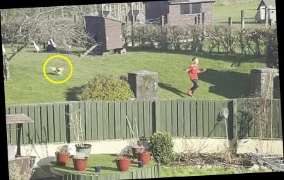 Terrified mum forced to arm herself with a rake every time she goes into garden as her COCKEREL chases everyone it meets