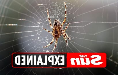What are the biggest spiders found in the UK?