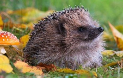 What you should NEVER feed hedgehogs – three top tips to helping wildlife