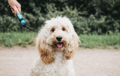 Vote to take Cockapoos into the lead in the UK's favourite dog breed competition