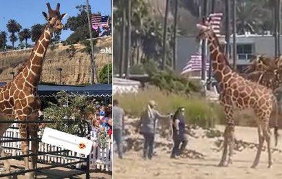 Bizarre moment a woman walks her GIRAFFE along the Santa Monica beach