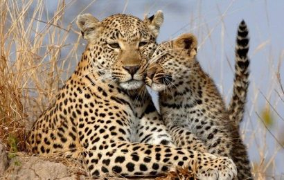 How did the leopard get his spots? Discovery shows Turing cracked the code
