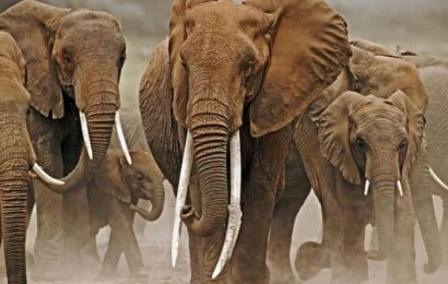 Elephants evolve without tusks to evade poachers